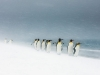 birds-category-highly-commended-king-penguins-in-snowstorm