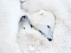 mammals-category-highly-commended-polar-bears-hugging-by-daisy-gilardini