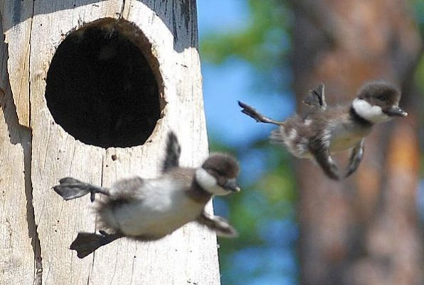Baby Birds Out of the Nest - Mass Audubon