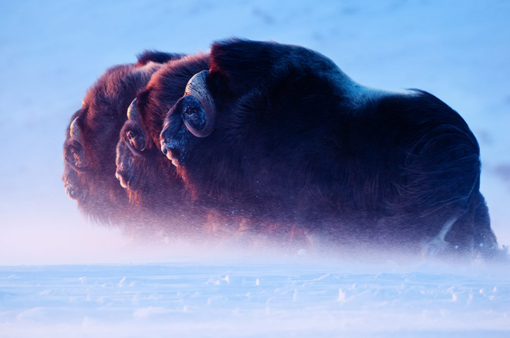 Mammals category, winner-Lords of the Arctic by Florian Schulz. (Three bull muskox heading towards the setting sun during a blizzard in north-western Alaska)